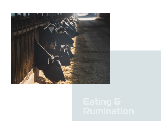 Cow Eating and Rumination