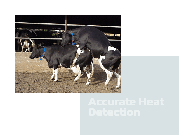 Accurate cow Heat detection
