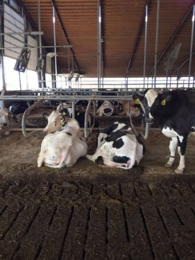 Effects of Cow Comfort on Milk Quality, Productivity and Behavior