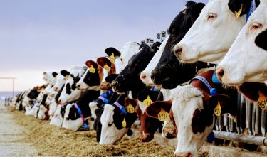 TRACKING COW BEHAVIOR AS A GROUP