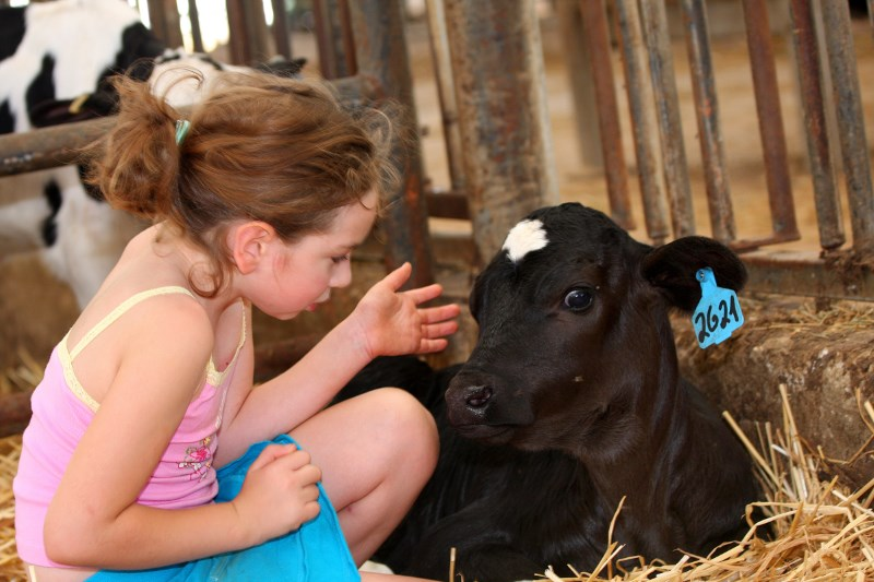 Dairy Guidelines Raising Calves